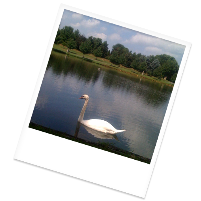 Swan swimming in our beautiful lake